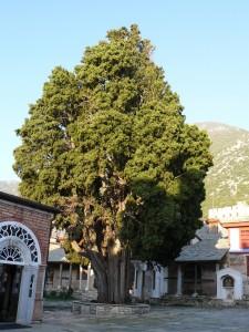 Chiparosul Sfântului Atanasie, aflat în faţa intrării în trapeză, are peste o mie de ani