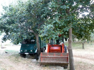 În grădină la Prodromu. Pomii din imagine se numesc lutuşi; fructele lor dulci par o combinaţie de mere cu piersici